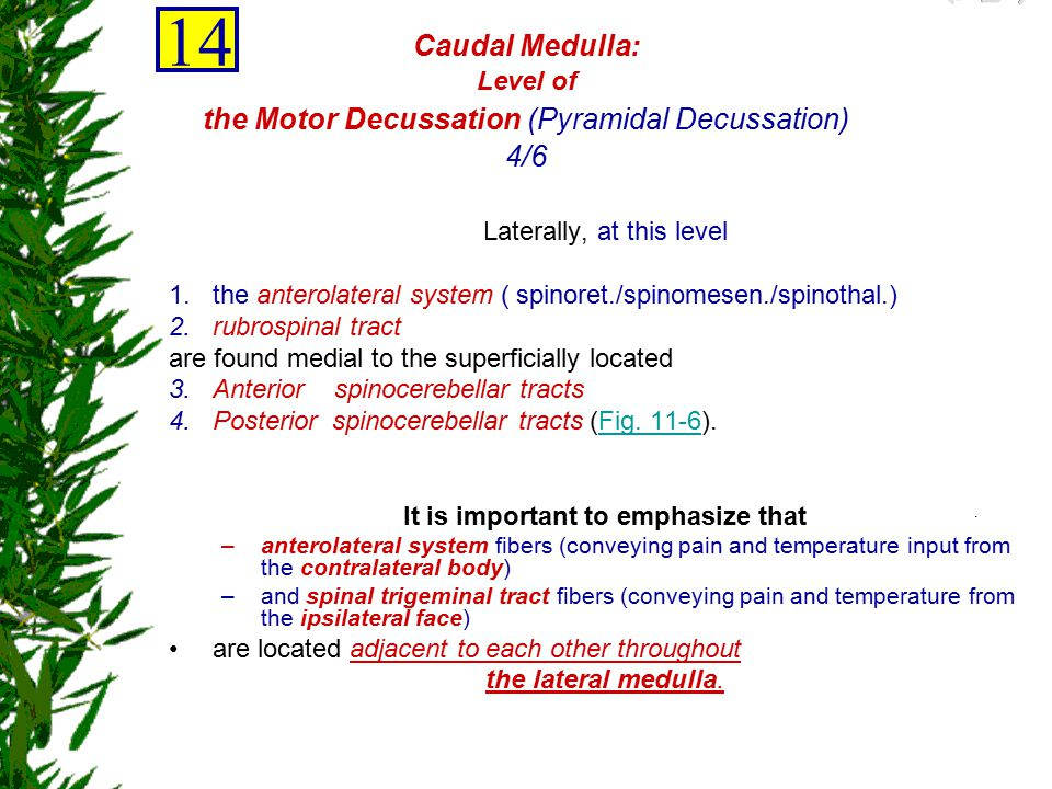 14 Caudal Medulla: Level of the Motor Decussation (Pyramidal Decussation) 4/6. Laterally, at this level.