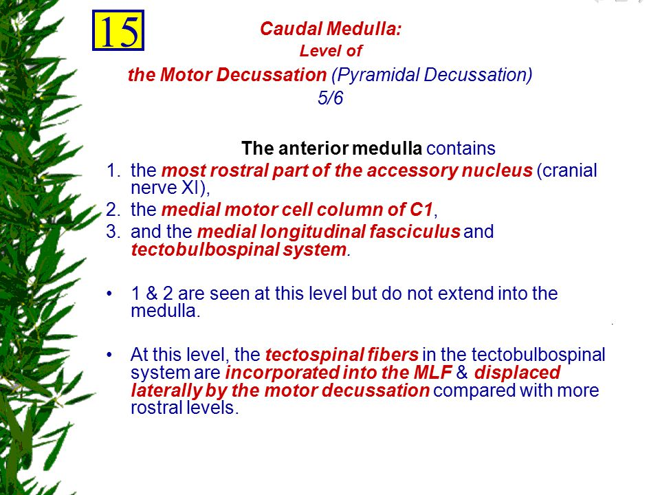 The anterior medulla contains