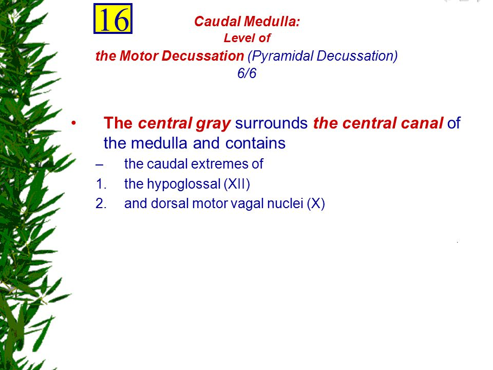 16 Caudal Medulla: Level of the Motor Decussation (Pyramidal Decussation) 6/6.
