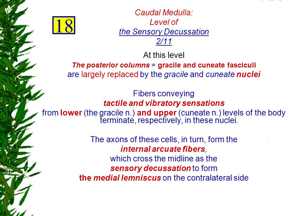Caudal Medulla: Level of the Sensory Decussation 2/11
