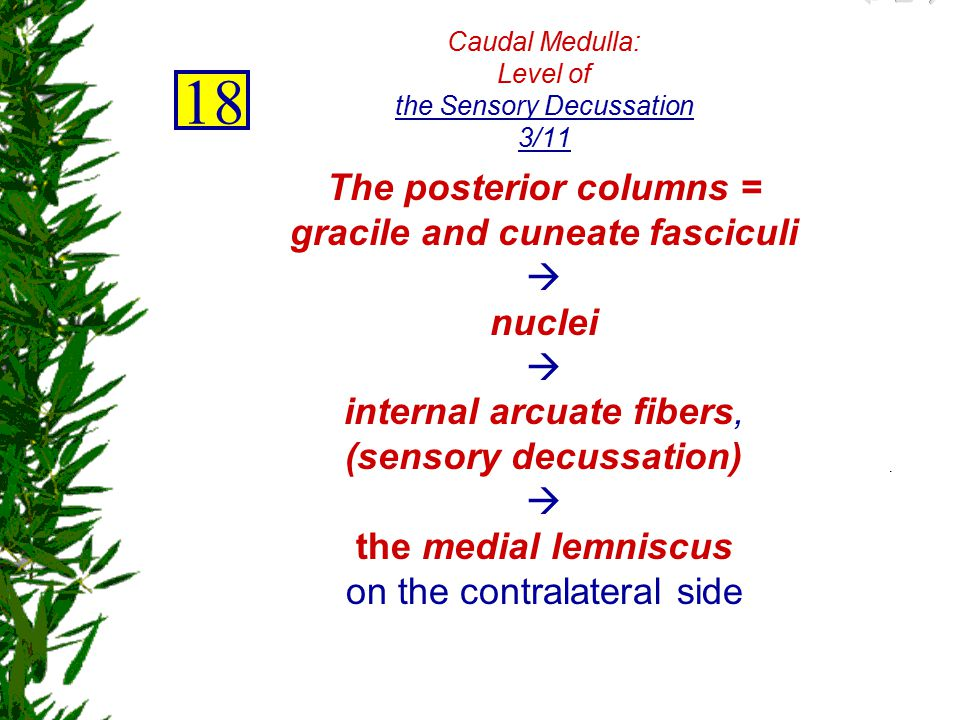 Caudal Medulla: Level of the Sensory Decussation 3/11