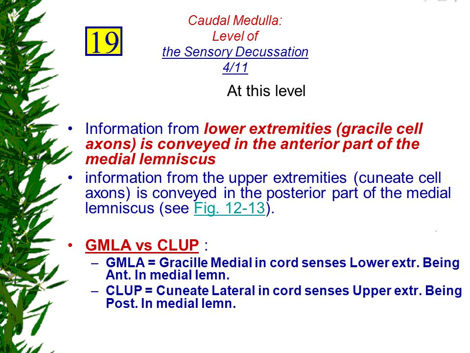 Caudal Medulla: Level of the Sensory Decussation 4/11