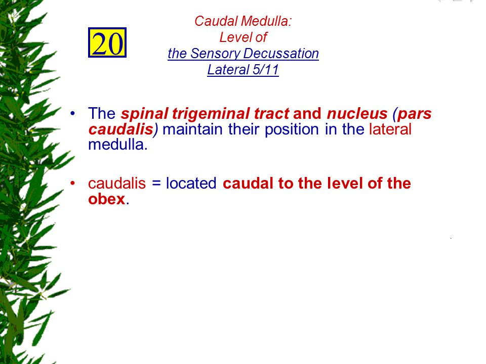 Caudal Medulla: Level of the Sensory Decussation Lateral 5/11