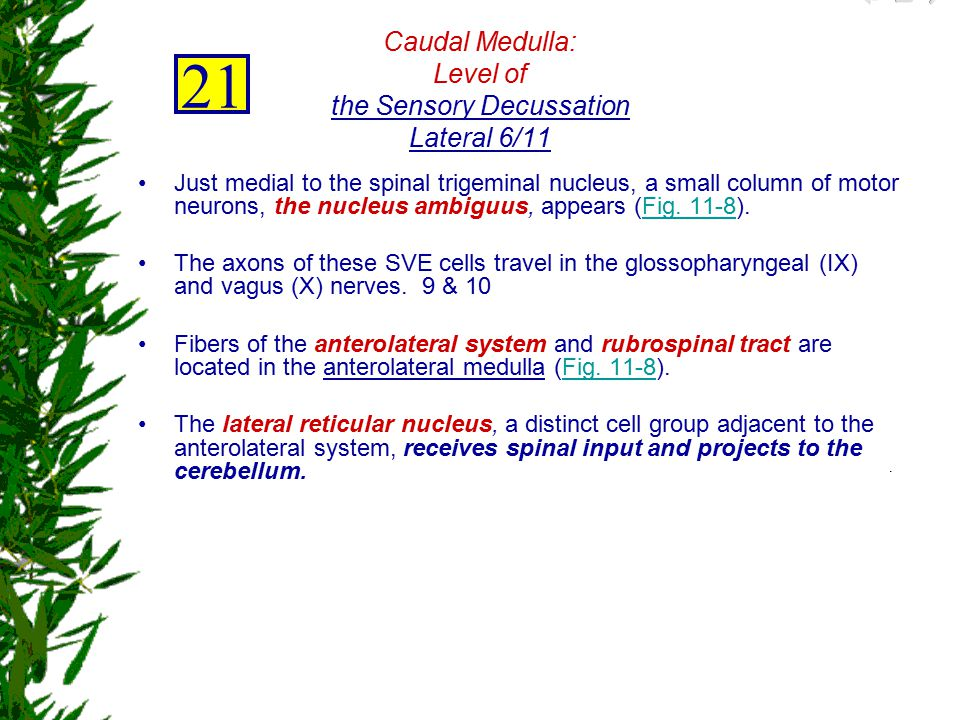 Caudal Medulla: Level of the Sensory Decussation Lateral 6/11