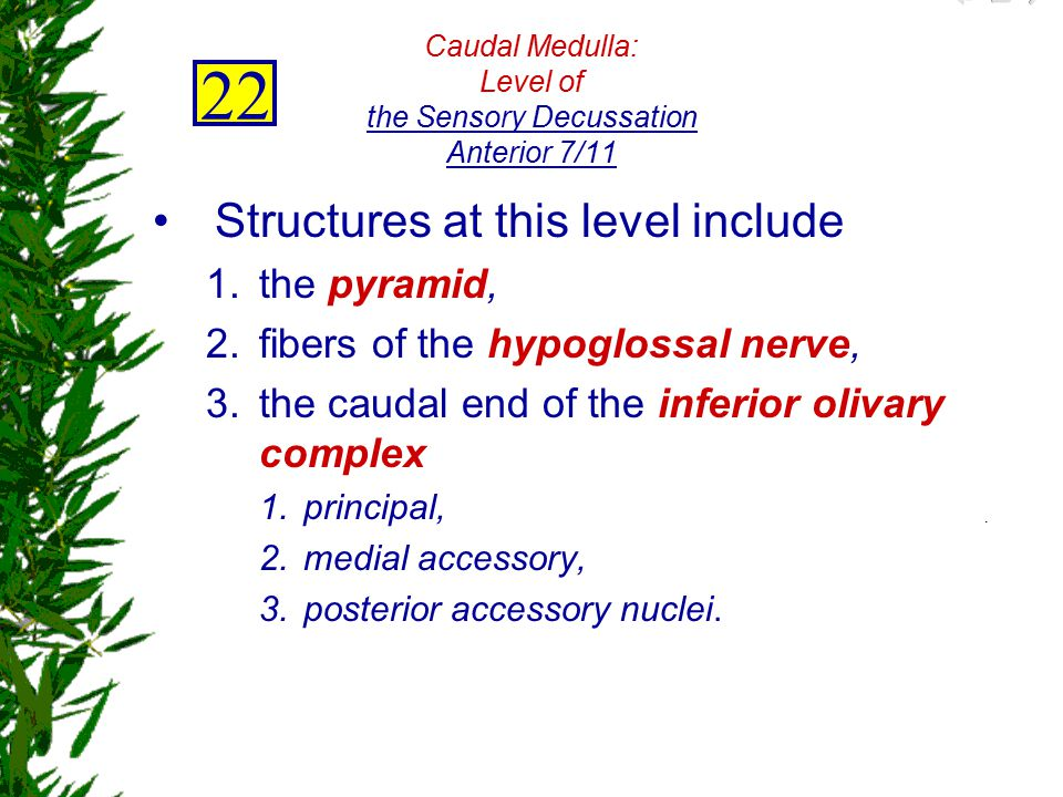 Caudal Medulla: Level of the Sensory Decussation Anterior 7/11