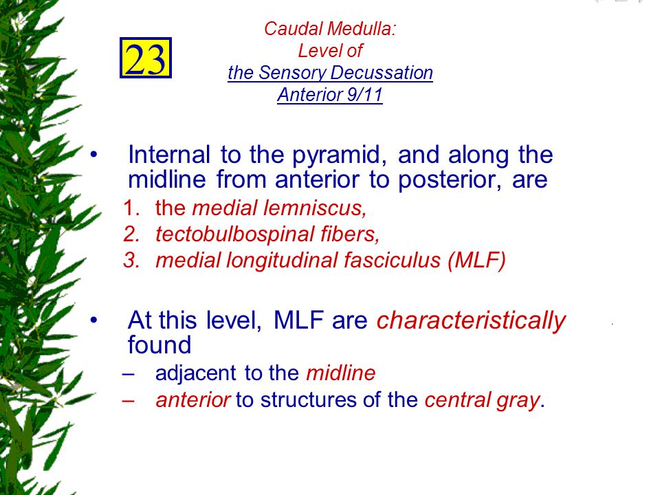 Caudal Medulla: Level of the Sensory Decussation Anterior 9/11