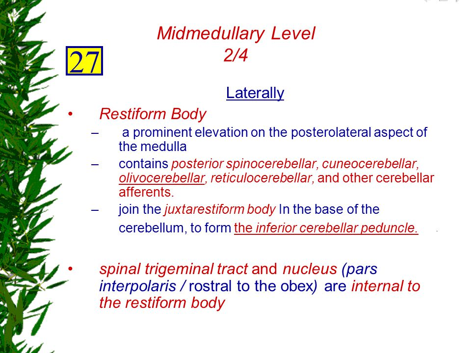 27 Midmedullary Level 2/4 Laterally Restiform Body