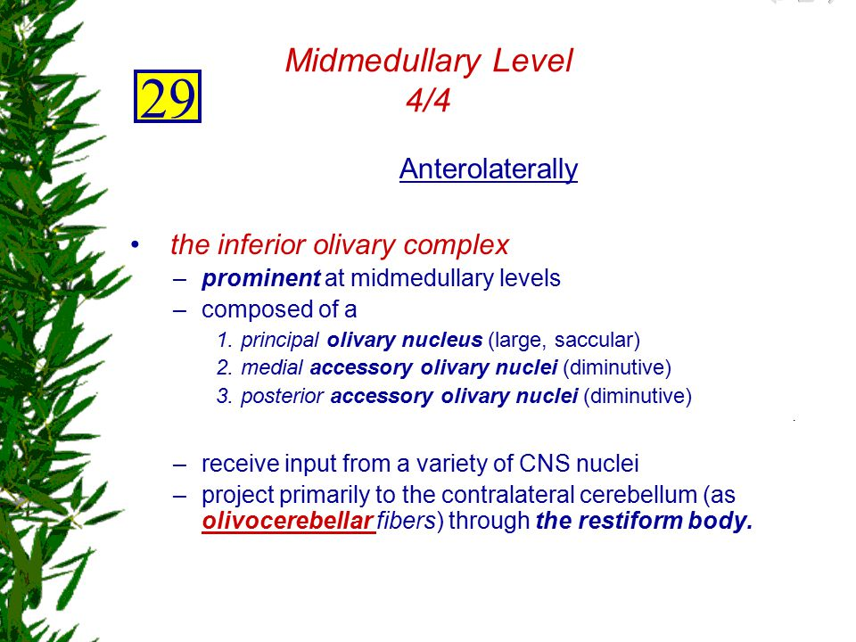 29 Midmedullary Level 4/4 Anterolaterally the inferior olivary complex