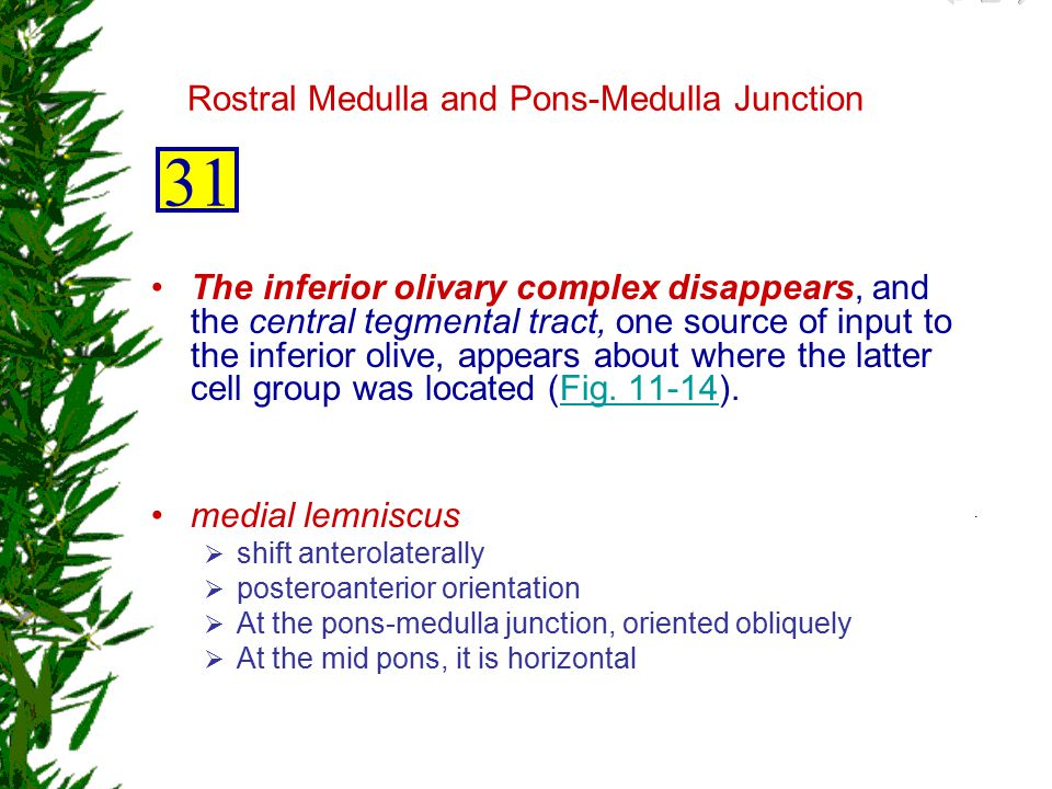 Rostral Medulla and Pons-Medulla Junction