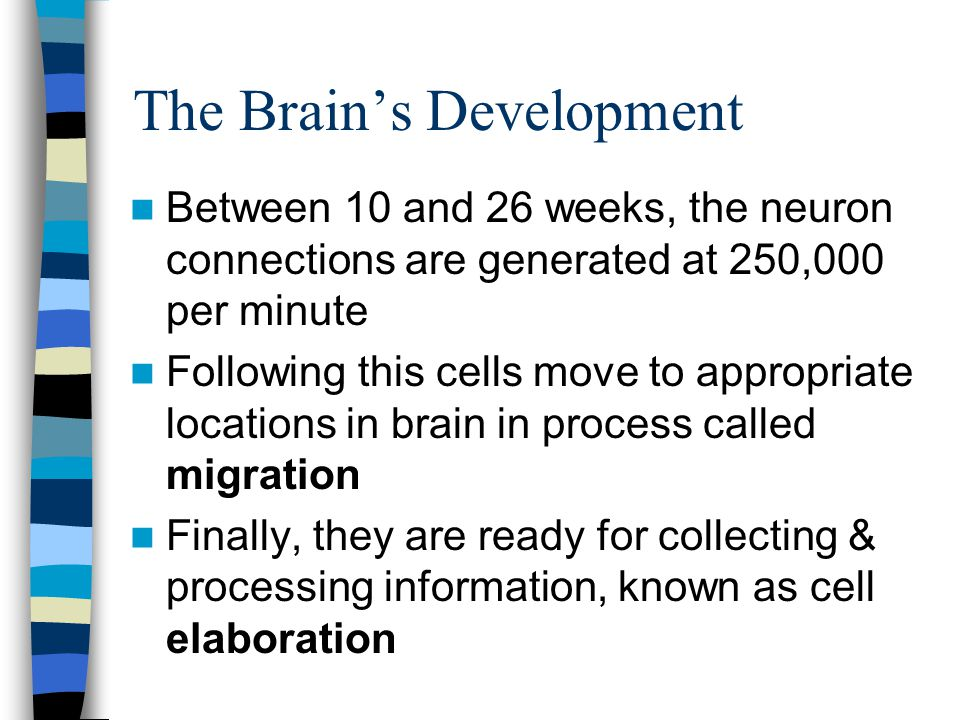 The Brain's Development