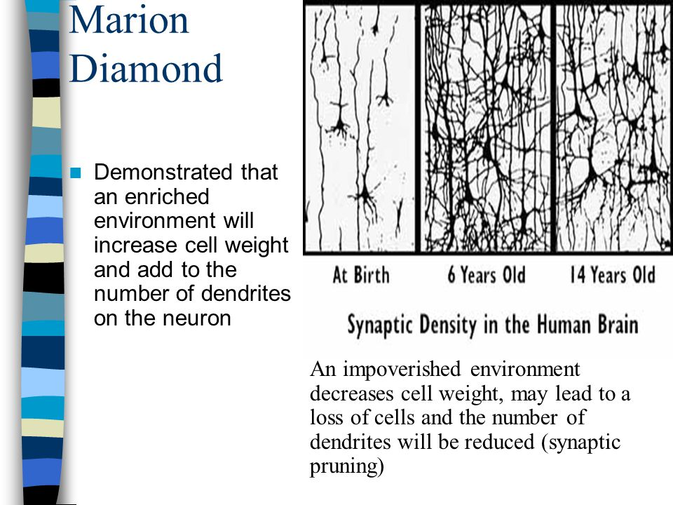 Marion Diamond Demonstrated that an enriched environment will increase cell weight and add to the number of dendrites on the neuron.