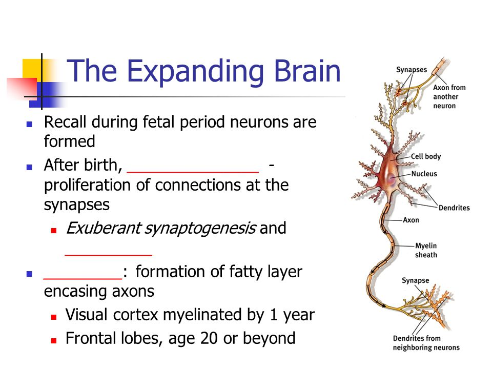 The Expanding Brain Recall during fetal period neurons are formed