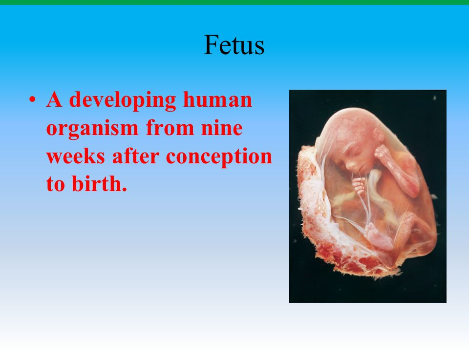 Fetus A developing human organism from nine weeks after conception to birth.