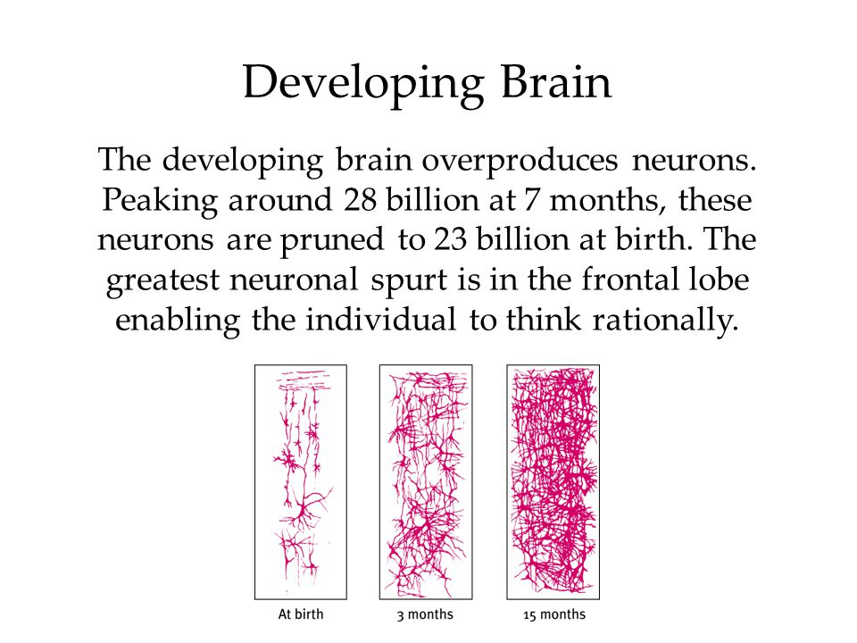 Developing Brain