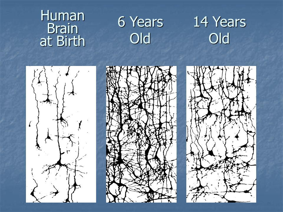 Human Brain at Birth 14 Years Old 6 Years Old