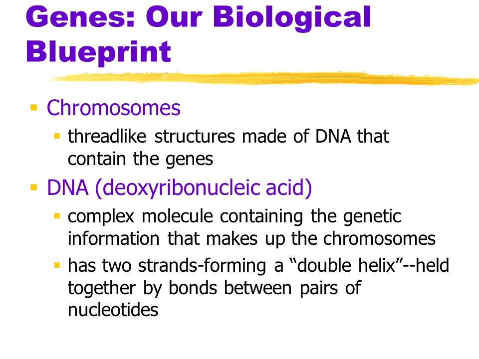 Genes: Our Biological Blueprint
