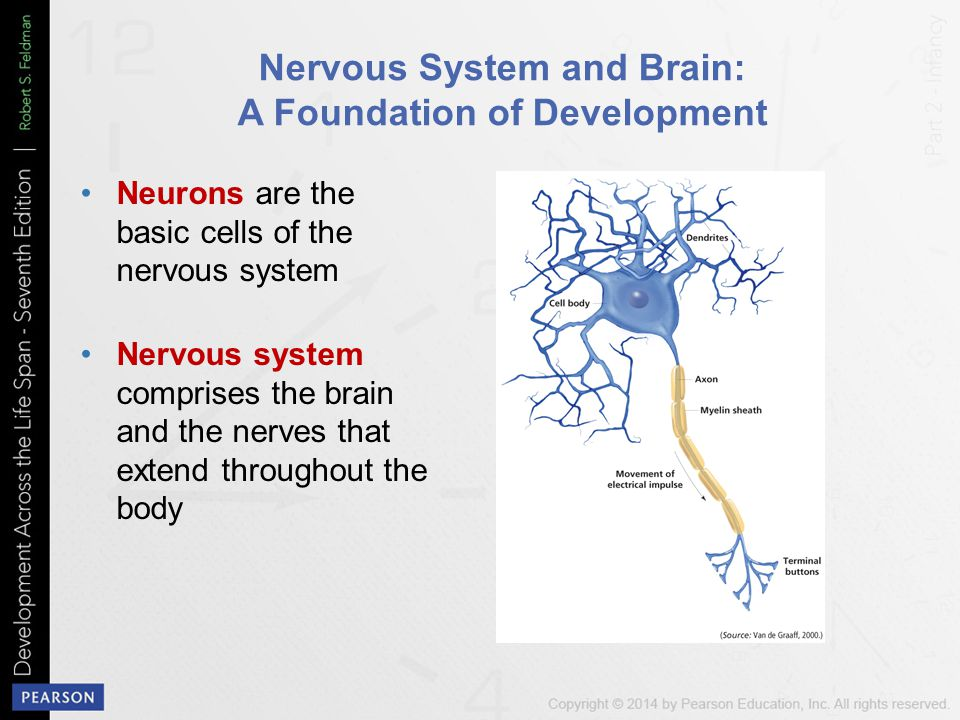 Nervous System and Brain: A Foundation of Development