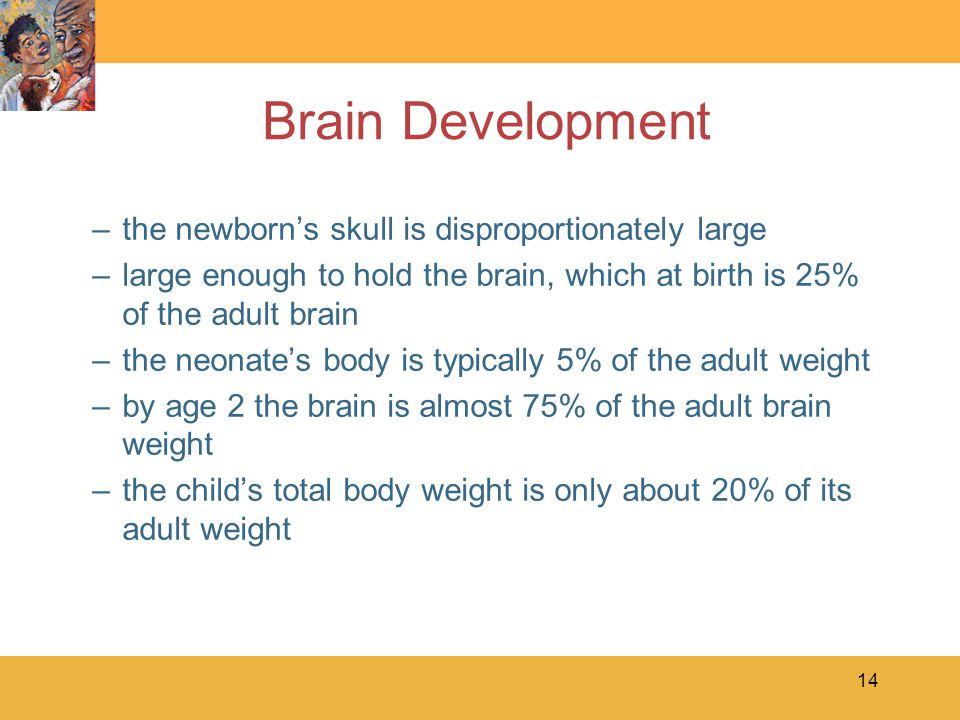 Brain Development the newborn's skull is disproportionately large