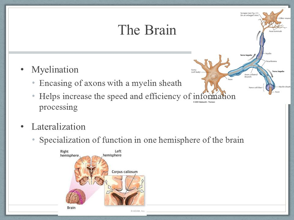 The Brain Myelination Lateralization