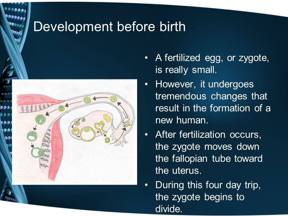 Development before birth