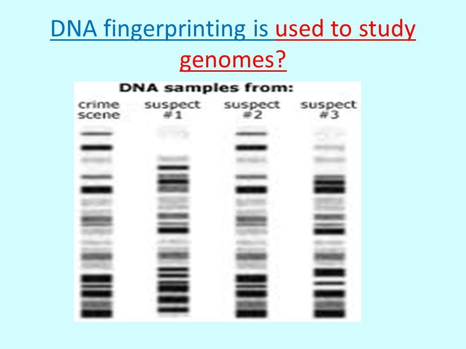 DNA fingerprinting is used to study genomes