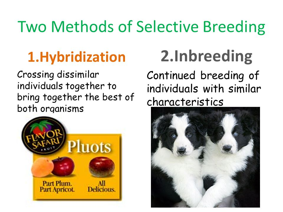 Two Methods of Selective Breeding