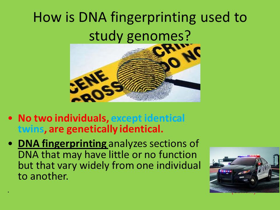How is DNA fingerprinting used to study genomes