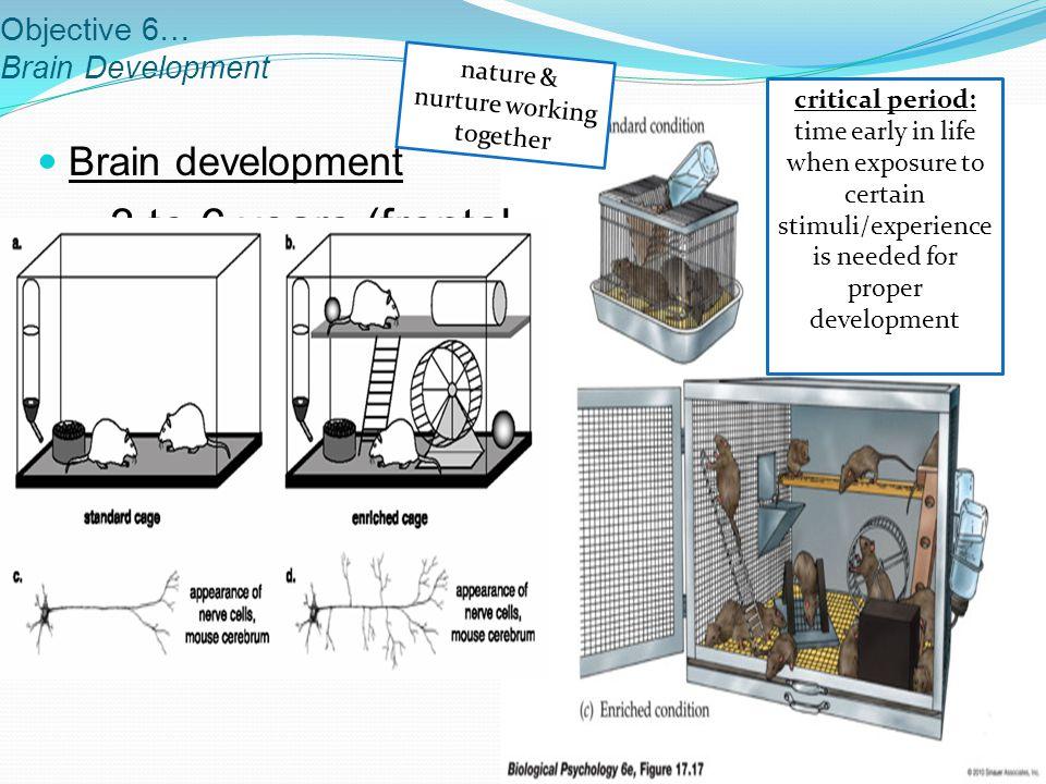 Objective 6… Brain Development