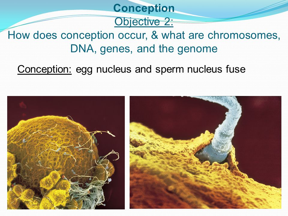 Conception Objective 2: How does conception occur, & what are chromosomes, DNA, genes, and the genome