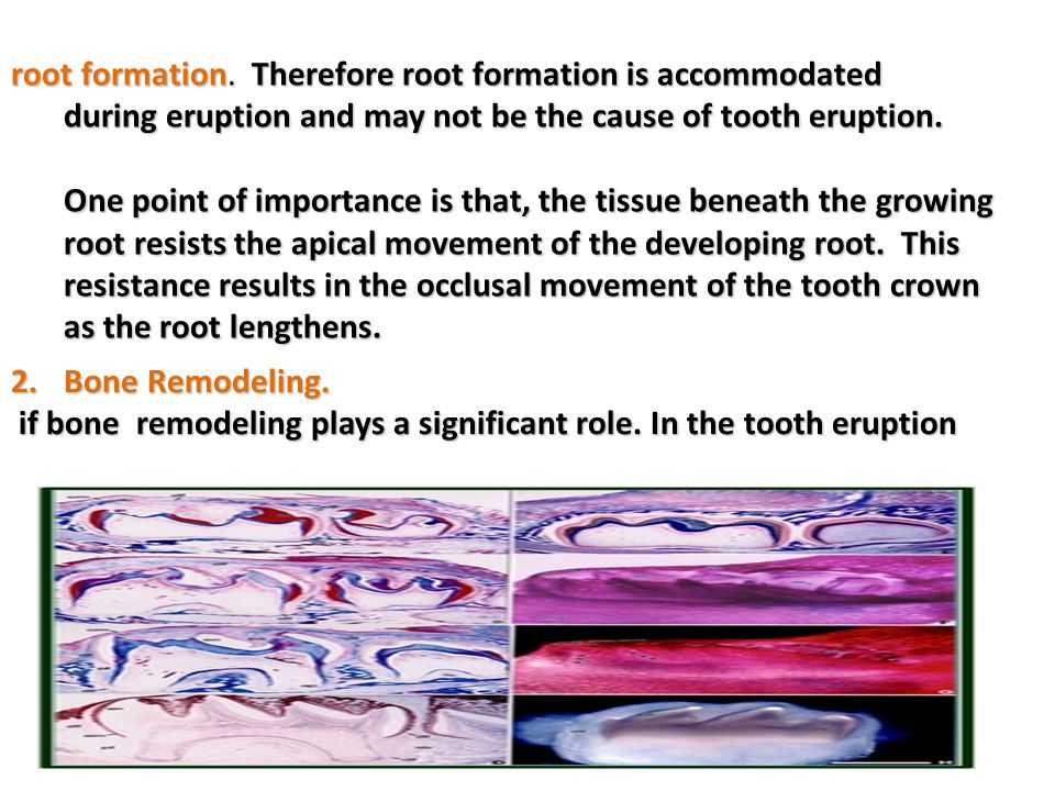 root formation. Therefore root formation is accommodated