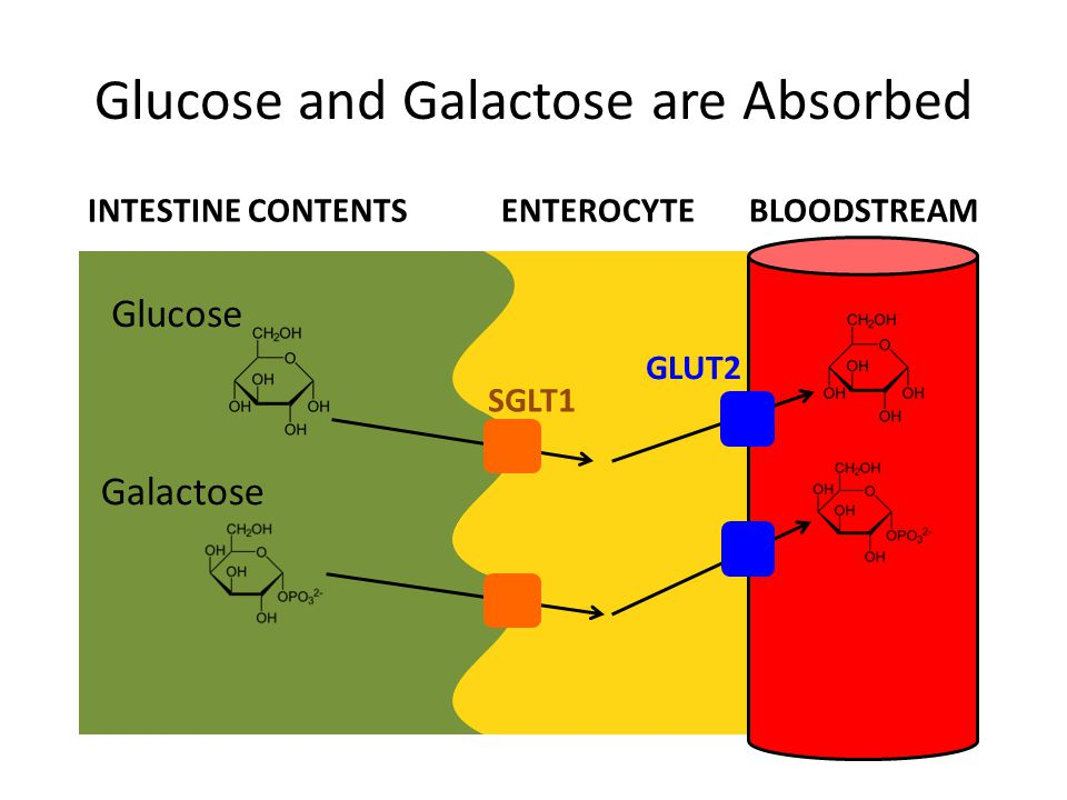 Glucose and Galactose are Absorbed