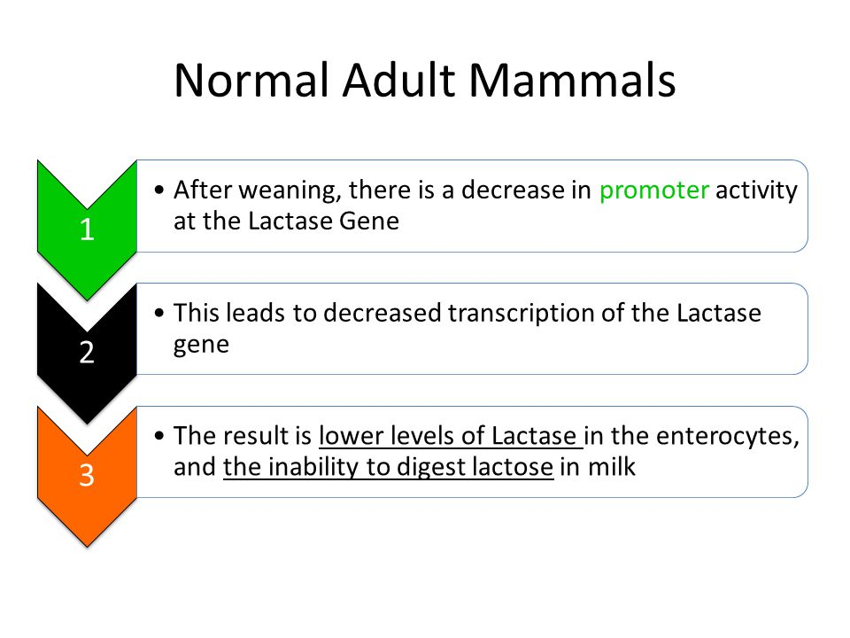 Normal Adult Mammals 1. After weaning, there is a decrease in promoter activity at the Lactase Gene.