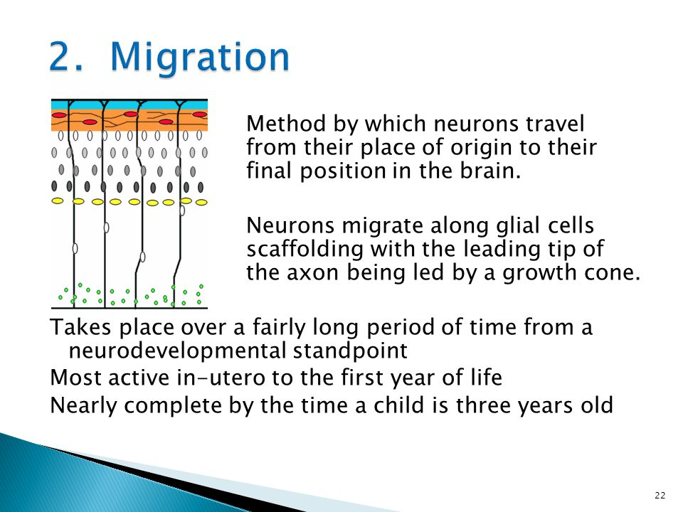 2. Migration Method by which neurons travel from their place of origin to their final position in the brain.