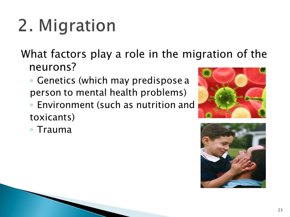 2. Migration What factors play a role in the migration of the neurons
