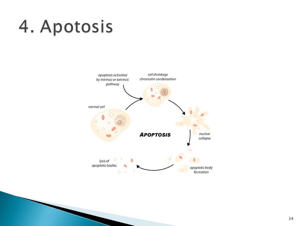 4. Apotosis