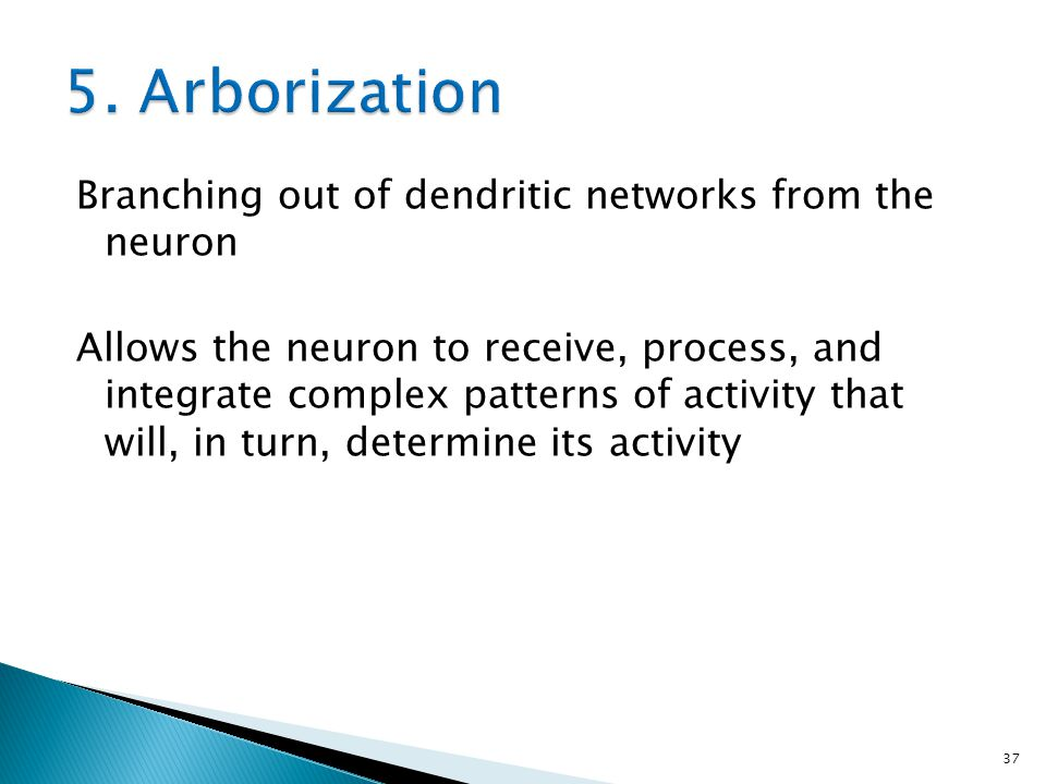 5. Arborization Branching out of dendritic networks from the neuron