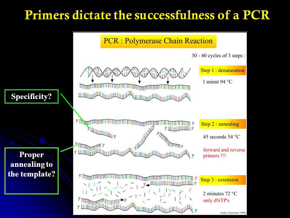 Primers dictate the successfulness of a PCR