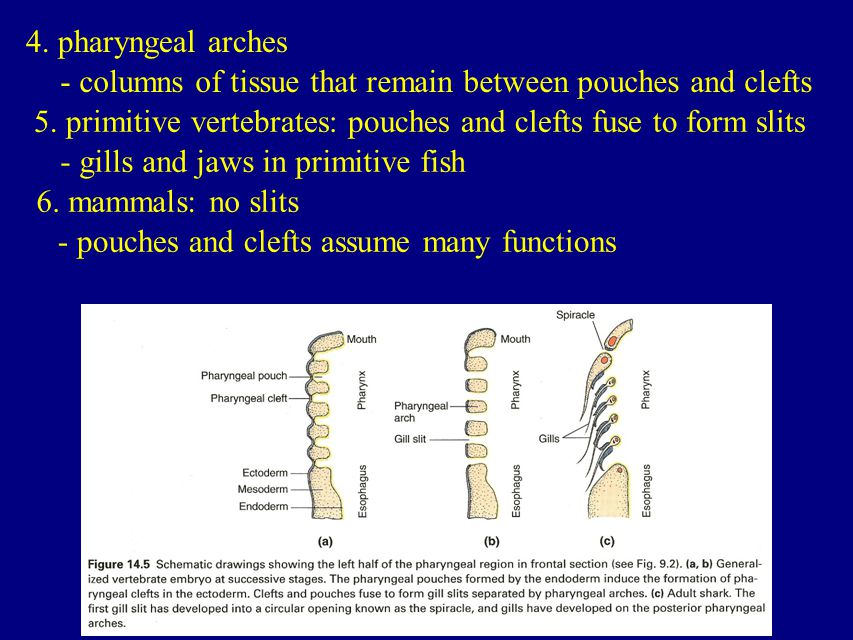 4. pharyngeal arches - columns of tissue that remain between pouches and clefts. 5. primitive vertebrates: pouches and clefts fuse to form slits.