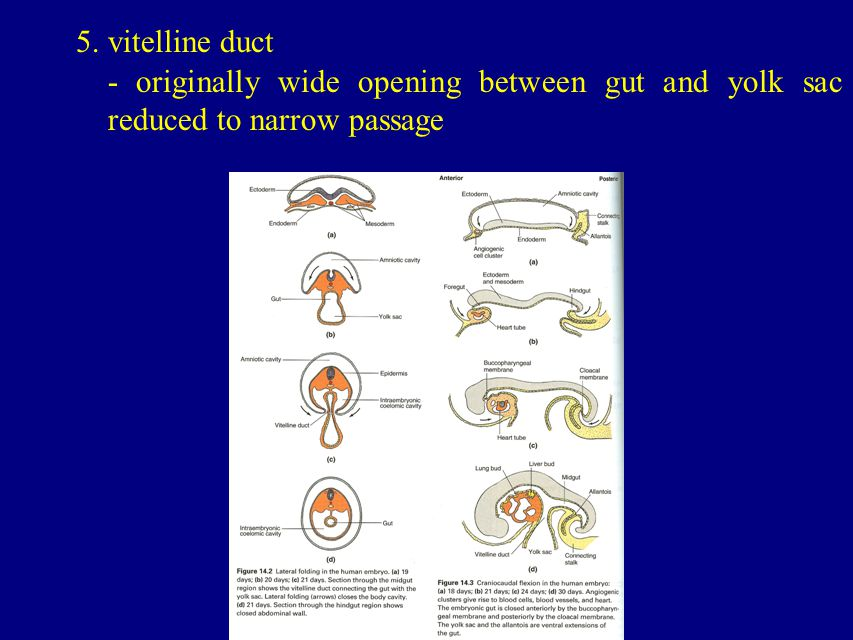 5. vitelline duct - originally wide opening between gut and yolk sac reduced to narrow passage
