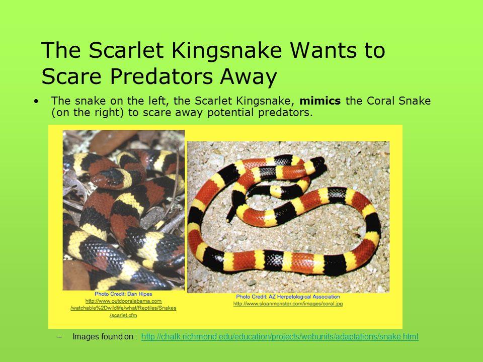 The Scarlet Kingsnake Wants to Scare Predators Away