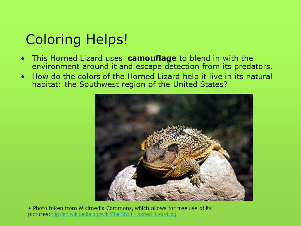 Coloring Helps! This Horned Lizard uses camouflage to blend in with the environment around it and escape detection from its predators.