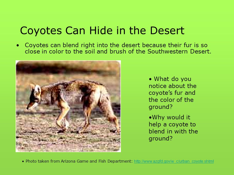 Coyotes Can Hide in the Desert