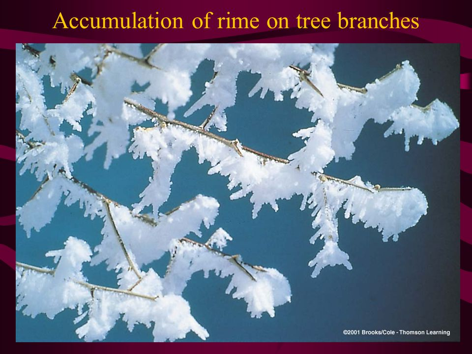 Accumulation of rime on tree branches