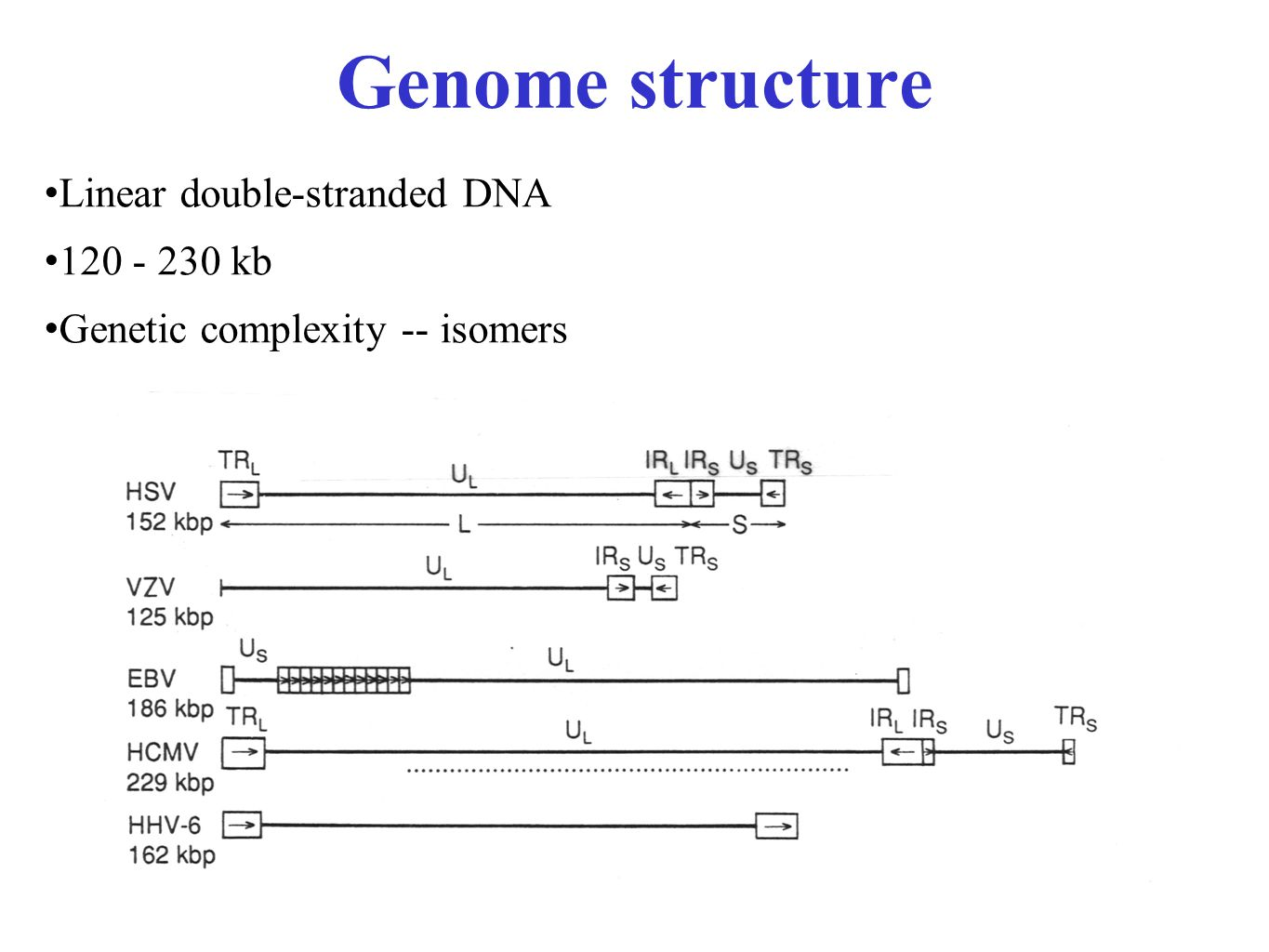 Genome structure Linear double-stranded DNA 120 - 230 kb