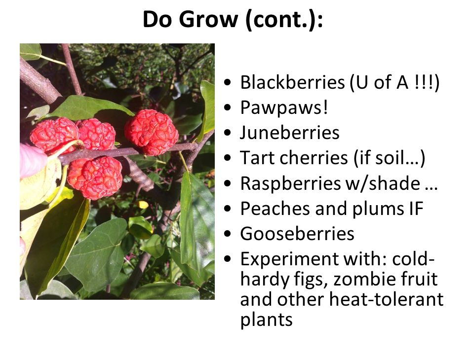 Do Grow (cont.): Blackberries (U of A !!!) Pawpaws! Juneberries