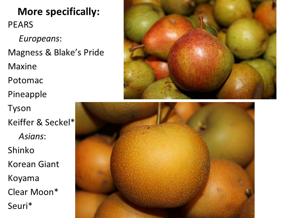 More specifically: PEARS Europeans: Magness & Blake's Pride Maxine