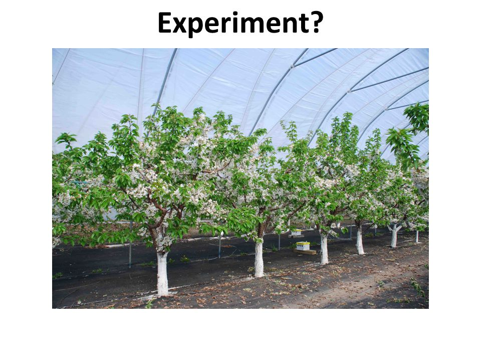 Experiment Photo: Sweet cherries in high tunnel. Photo Gregory Lang, MSU
