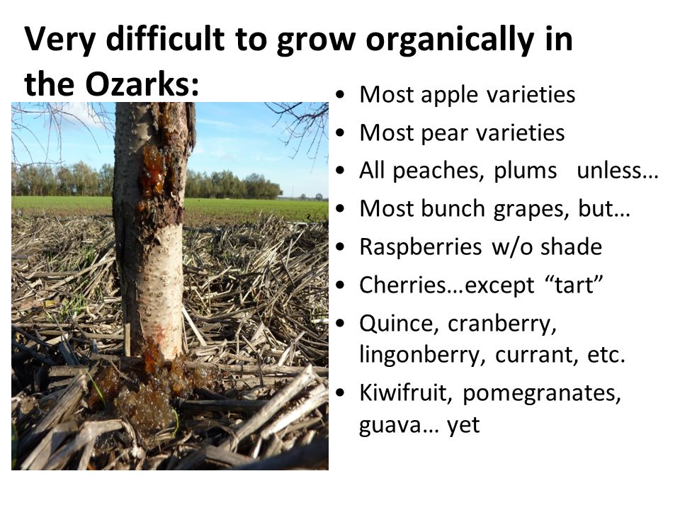 Very difficult to grow organically in the Ozarks: