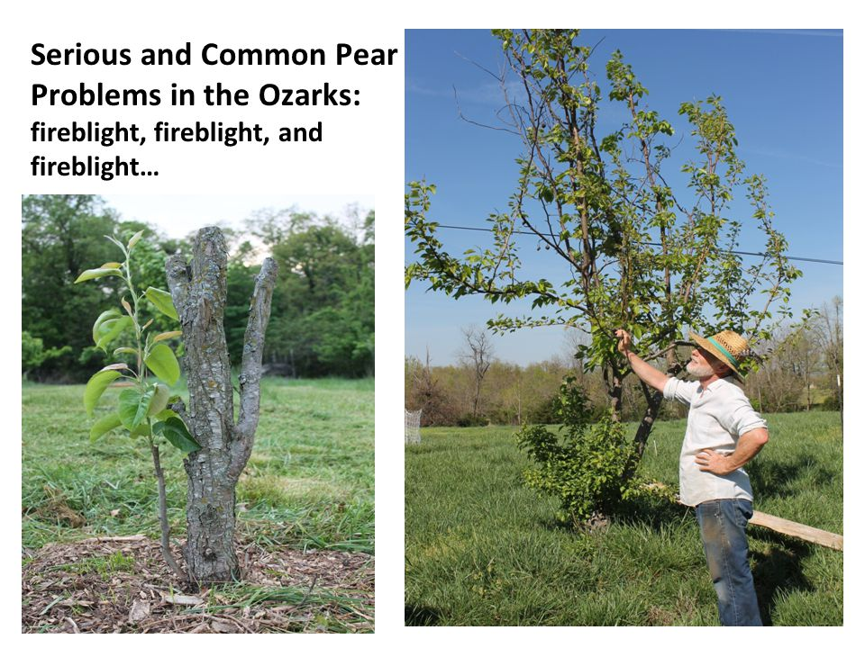 Serious and Common Pear Problems in the Ozarks: fireblight, fireblight, and fireblight…