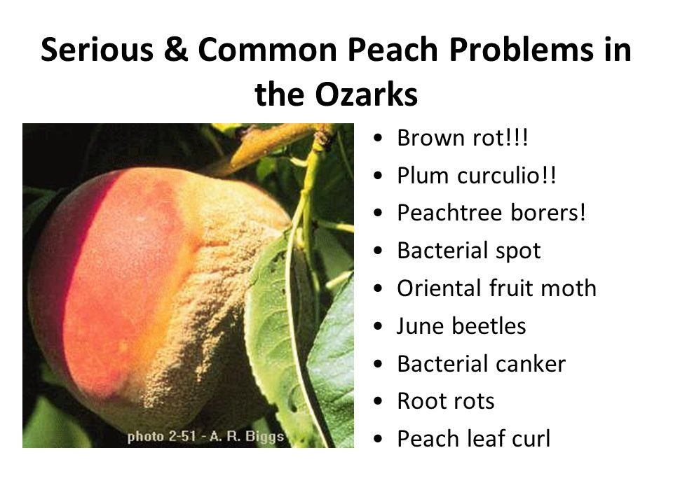 Serious & Common Peach Problems in the Ozarks